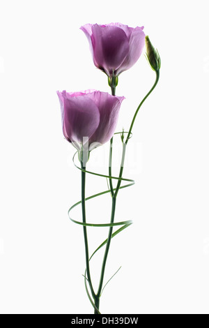 Lisianthus Eustoma russellianum Piccolo Rose. Studio shot of two flowers and bud arranged with a spiral of Bear - Stock Photo