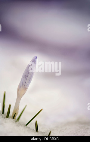 Crocus, tightly furled flower and pointed leaves emerging from snow. - Stock Photo