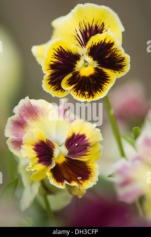 Pansy, Viola x wittrockiana. Two flowers with areas of dark purple-brown radiating from the centres of yellow petals. - Stock Photo
