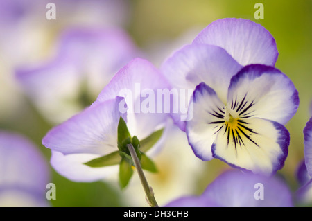 Viola with delicate cream and pale blue translucent petals and yellow eye at centre. One faced forwards, one turned - Stock Photo
