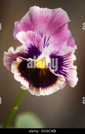 Pansy Viola x wittrockiana. Single flower with ruffled petals of muted purple and area of dark purple-brown radiating - Stock Photo