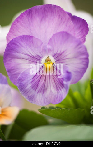 Pansy, Viola x wittrockiana. Close view of single flower with delicately veined purple petals and yellow eye at - Stock Photo