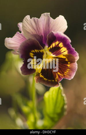 Pansy, Viola x wittrockiana. Single flower with ruffled purple-brown, veined petals extending dark to light from - Stock Photo