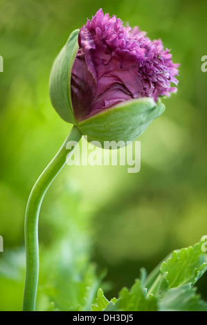 Poppy, Papaver somniferum. Crumpled, ruffled petals of popy emerging from protective green sepals. - Stock Photo