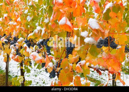 Snow-covered grape-vines, Dornfelder grapes, in autumn, Korb-Steinreinach, wine-growing region of Remstal, Baden - Stock Photo