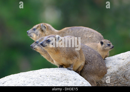 Rock Hyrax or Cape Hyrax (Procavia capensis), native to Africa and West Asia, juveniles, Baden-Wuerttemberg - Stock Photo