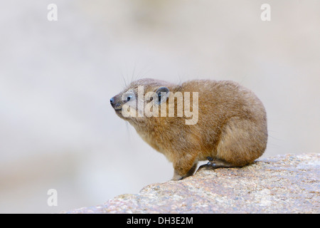 Rock Hyrax or Cape Hyrax (Procavia capensis), Baden-Württemberg, Germany - Stock Photo
