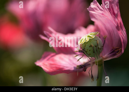 Poppy, Papaver somniferum. Fading flower with petals and stamens falling away from central ripening seed head. - Stock Photo