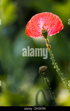 Poppy Papaver rhoeas Shirley series. Two seed heads one with single petal attached giving appearance of an open fan scattered