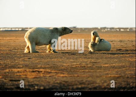 Two young polar bears (Ursus maritimus) play fighting with each other with their mother watching, Kaktovik, North - Stock Photo