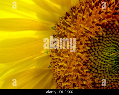 Detail of a sunflower. Image shows a flower, backlit by the sun, with petals, seeds and other parts of the flower - Stock Photo