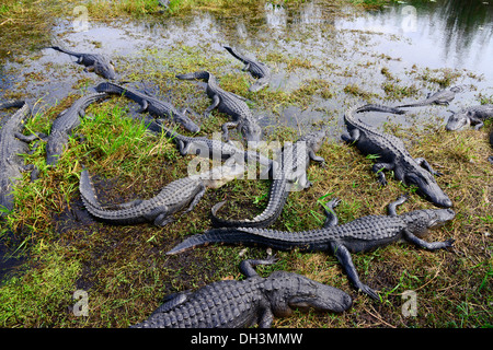 Alligators Everglades National Park Homestead Florida US - Stock Photo
