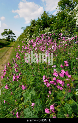 Summer hedge bank with flowering Red campion (Silene dioica) - Stock Photo