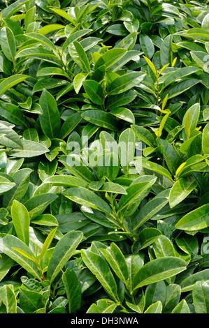 Prunus laurocerasus - Stock Photo