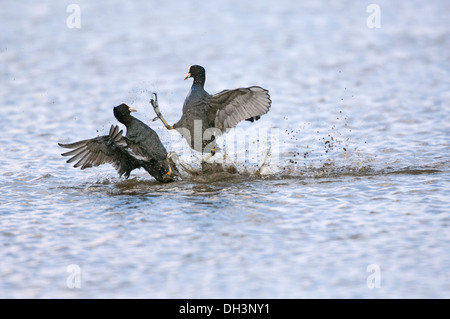 Coots, (Fulica atra) pair fighting on water. - Stock Photo