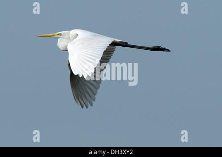 Great White Egret - Ardea alba - Stock Photo