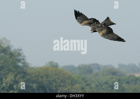 Black Kite Milvus migrans - Stock Photo