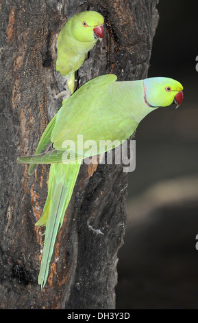 Ring-necked Parakeet Psittacula krameri - Stock Photo