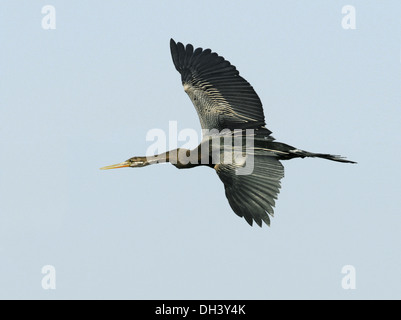 Oriental Darter - Anhinga melanogaster - Stock Photo