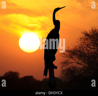 Oriental Darter - Anhinga melanogaster - Stock Photo