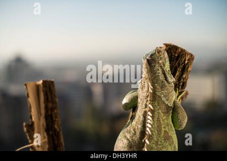 iguana crawling on a piece of wood and posing - Stock Photo