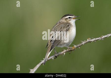 Sedge Warbler Acrocephalus schoenobaenus - Stock Photo
