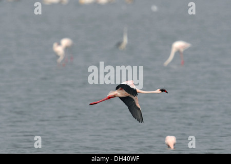 Lesser Flamingo - Phoenicopterus minor - Stock Photo
