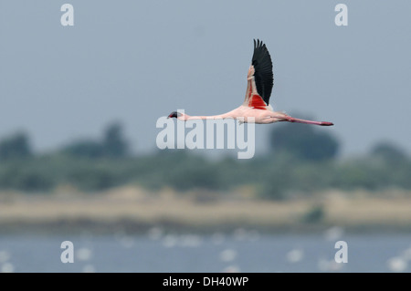 Lesser Flamingo - Phoenicopterus minor - Stock Photo