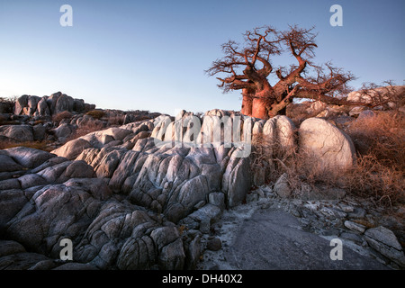 Baobab tree on Lekhubu Island, Botswana. - Stock Photo