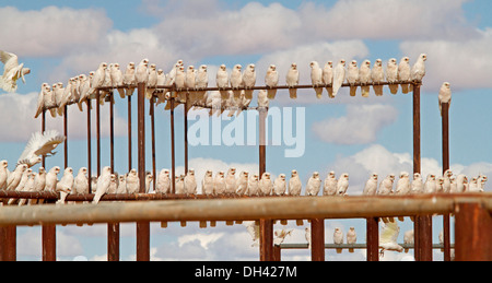 Panoramic shot of immense flock of corellas on railings of stock yards against blue sky in Australian outback near - Stock Photo