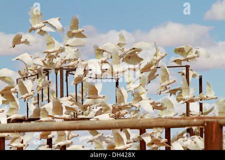 Immense flock of corellas in flight among railings of stock yards against blue sky in Australian outback near Lake - Stock Photo