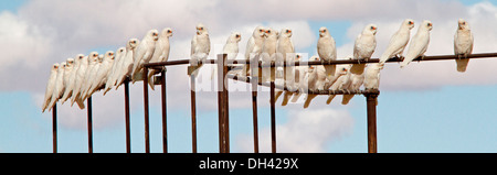 Panoramic shot of flock of corellas on railings of stock yards against blue sky in Australian outback near Lake - Stock Photo