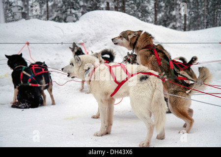 A team of Husky dogs pull a sledge. - Stock Photo