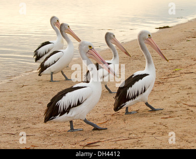 Group of five of Australian pelicans in similar poses & walking in step on sandy beach beside water of Streaky Bay - Stock Photo