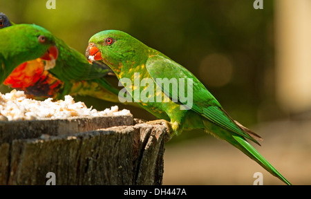 Scaly-breasted lorikeet, Trichoglossus chlorolepidotus, eating food from bird table in park in Australia - Stock Photo