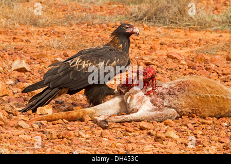 Spectacular shot of wedge-tailed eagle in the wild feeding on bloody carcass of dead kangaroo in the Australian - Stock Photo
