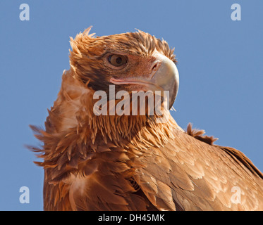 Close up of face of wedge tailed eagle against blue sky in the wild in outback Australia - Stock Photo