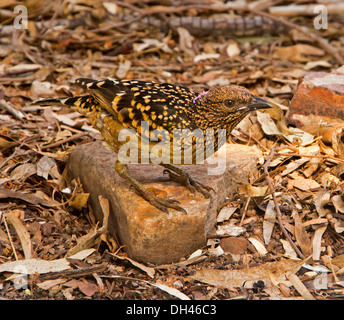Australian western / spotted bowerbird, Chlamydera guttata well camouflaged on rock on ground among dry leaves at - Stock Photo