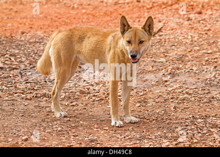 Australian dingo, in the wild, in the outback at camping area at Redbank Gorge near Alice Springs Northern Territory - Stock Photo