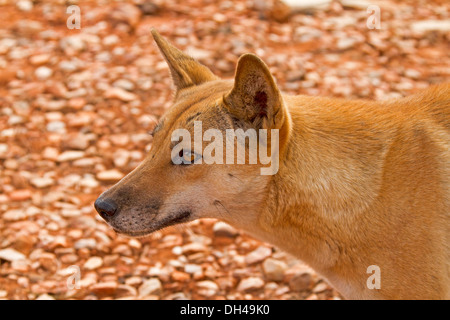 Close up shot showing face of dingo in the wild at Australian outback camping area near Redbank Gorge in Northern - Stock Photo