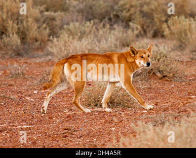 Australian dingo, in the wild, in the outback near Lake Eyre in northern South Australia - Stock Photo