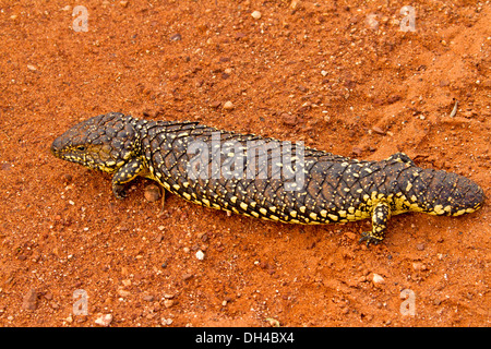 shingleback or australian sleepy lizard stock photo  alamy
