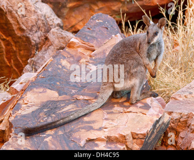 Rare black-footed rock wallaby Petrogale lateralis on rocks in the wild at Simpson's Gap in West MacDonnell Ranges - Stock Photo