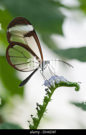 Glass winged butterfly Greta Oto on unidentified plant. This butterfly is so called because its wings lack coloured - Stock Photo