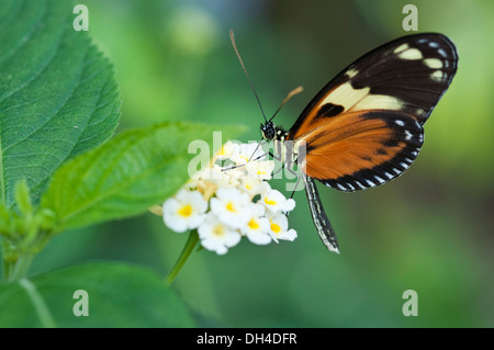 Heliconius hecale zuleika butterfly feeding on clustered white flowers of Lantana camara - Stock Photo