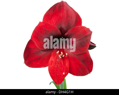 red amaryllis flower over white background - Stock Photo