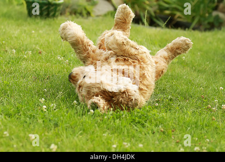 red dog of breed American Cocker Spaniel plays in garden on green grass, well-groomed lawn - Stock Photo