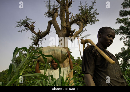 Nitrogen fixing Faidherbia albida tree in Kano, Nigeria - Stock Photo