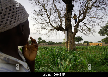 Nitrogen fixing Faidherbia albida tree in village near Kano, Nigeria. - Stock Photo