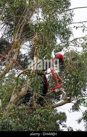 Tree surgeon working in Eucalyptus tree. With permission. - Stock Photo
